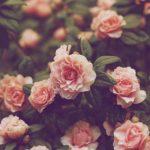 Χρόνια σαν τριαντάφυλλα