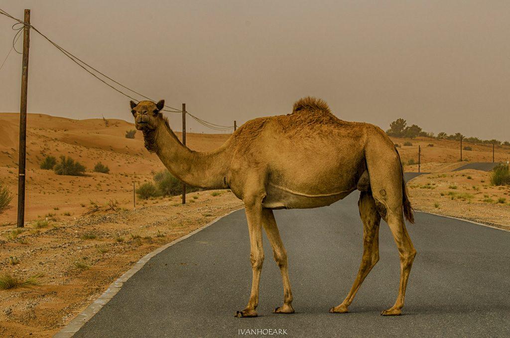 Δημήτρης Σωτάκης, Καμήλες